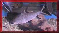 Tropical fish centre cyprinids for Sharks fish chicken little rock ar