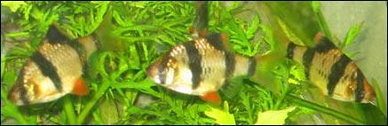 Tropical Fish Centre Tiger Barbs